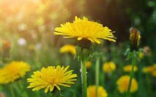 Обзор эффективных трав для чистки печени: аптечные и домашние печеночные сборы