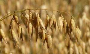 Как приготовить и как пить отвар из овса: пошаговые рецепты и секреты применения