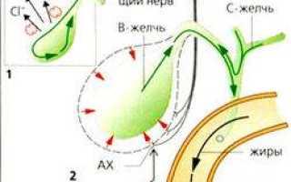 Анатомия и физиология поджелудочной железы