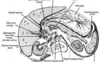 Где находится поджелудочная железа у человека? Строение и функции поджелудочной железы