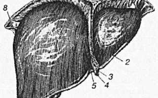 Печень  (Левая треугольная связка, lig. triangulare sinistrum)