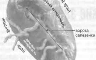 Природная целесообразность строения и расположения связок печени
