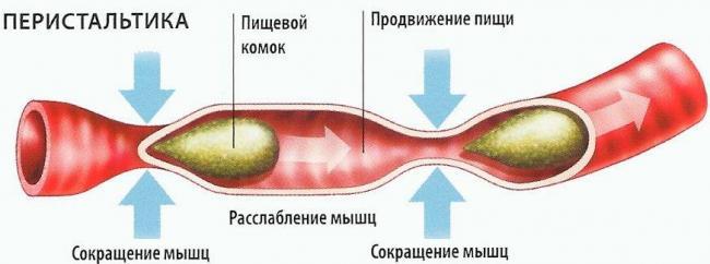 peristaltika2.jpg