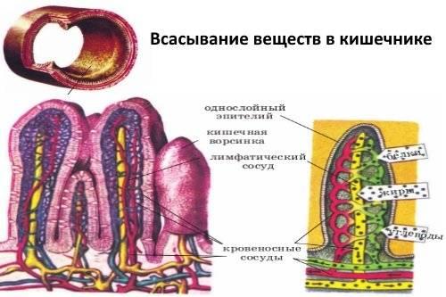 Vsasyvanie-veshhestv-v-kishechnike.jpg