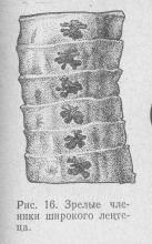рис. 16 Зрелые членики широкого лентеца