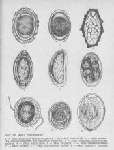 рис. 20 Яйца гельминтов