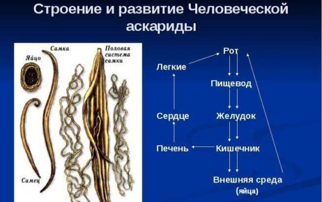 Harakteristika-askarid-e1501582286763.jpg