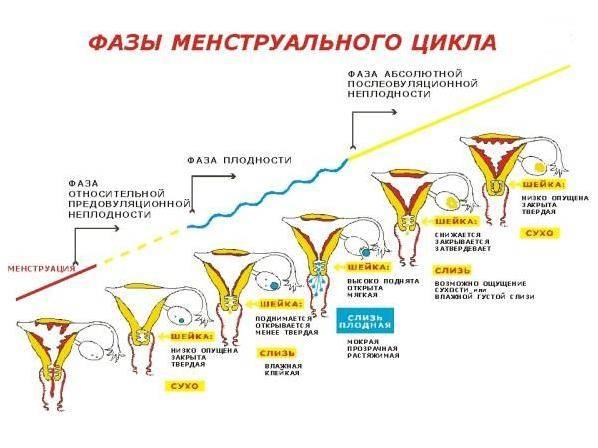 Фазы-менструального-цикла.jpg