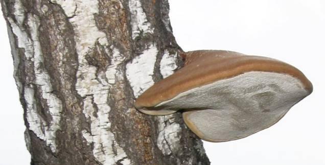 Березовый-гриб-растет-непосредственно-на-дереве.jpg