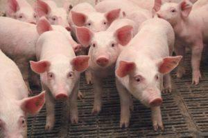 Выращивание-свиней-в-домашних-условиях-как-бизнес-300x200.jpg