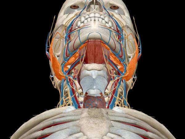 1408887278_anatomiya-slyunnoy-zhelezy-e1522489581929.jpg