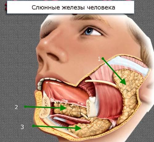 stroenie-slyunnyie-zhelezyi-gde-nahodyatsya-3.jpg