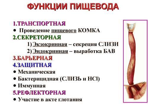 stroenie-pischevoda-anatomiya-funktsii-4jpg.jpg
