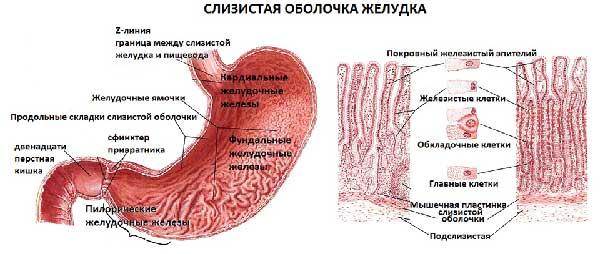 slizistaya-obolochka-zheludka.jpg