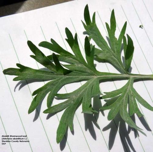 absinth-wormwood-leaf.jpg