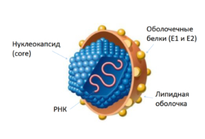 hepatitis-C-virus-300x204.png