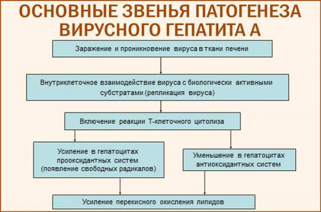 osnovnye-zvenya-patogeneza-virusnogo-gepatita-a.jpg