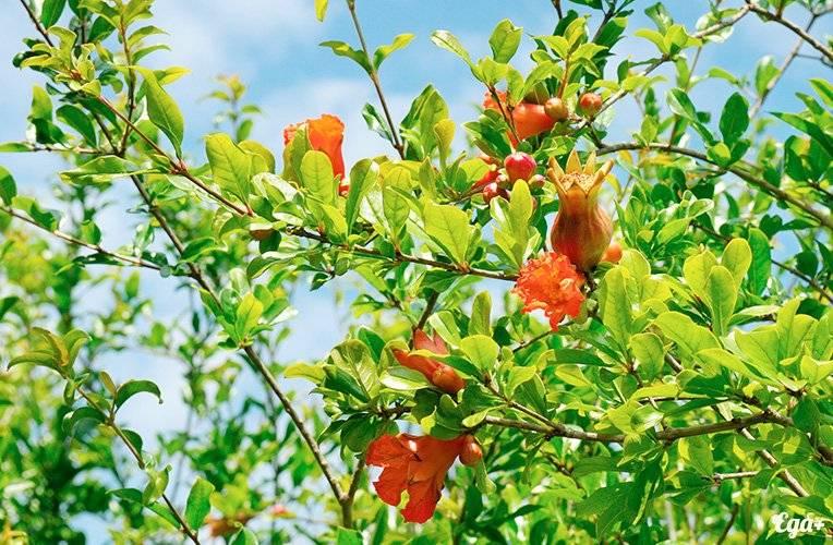 pomegranate-big.jpg