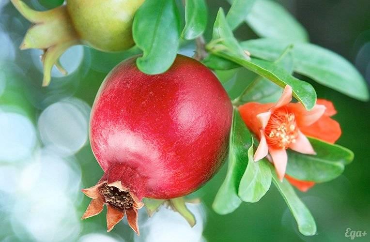 pomegranate-big2.jpg
