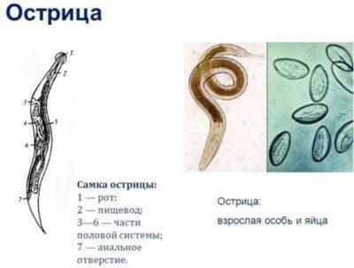 ostritsa-e1480949642265.jpg