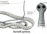 bychiy_cepen_stroenie-167x120.jpg