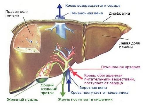 Stroenie-pecheni-cheloveka.jpg