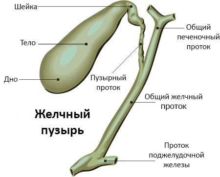 anatomiya-zhelchnogo-puzyrya2.jpg