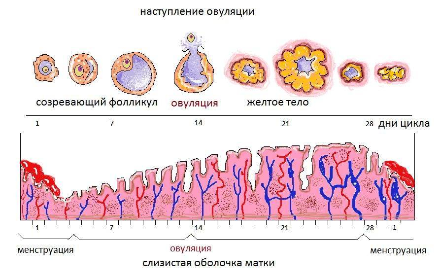 ovulyaciya-1.jpg