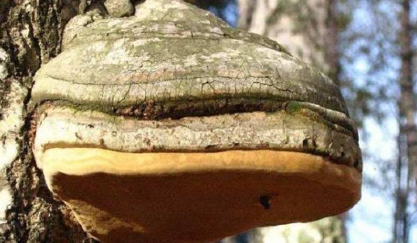 чага-березовый-гриб.jpg