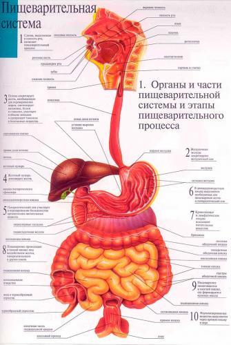 organi-pishevareniya.jpg