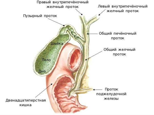 stroenie-zhelchnogo-puzyrya-i-ego-protokov_s.jpg