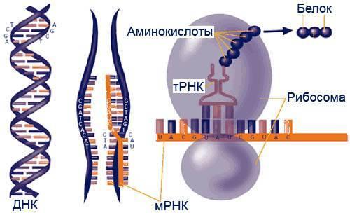 Муковисцидоз.-Мутации-гена-и-их-проявления.-2.jpg
