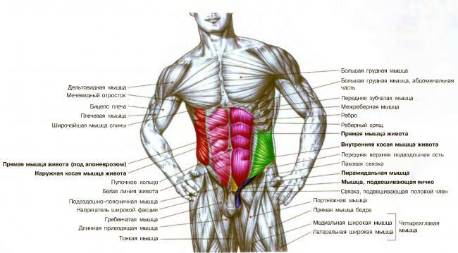 press-abdominal-muscle-anat.jpg