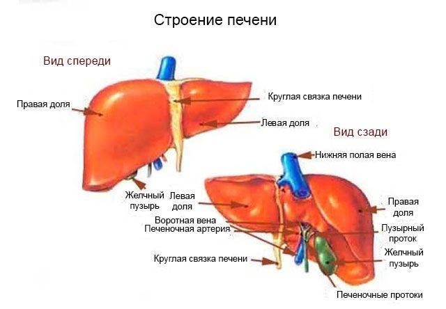 pechen-i-zhelchnyj-puzyr-3-1.jpg
