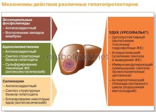 1575450040_mehanizm-deystviya-gepatoprotektorov.jpg